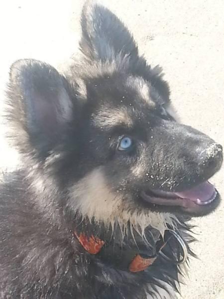 Malakai (German Shepherd/Siberian Husky)