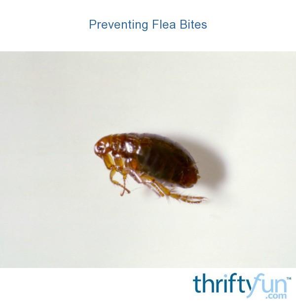 Preventing Flea Bites On Dogs