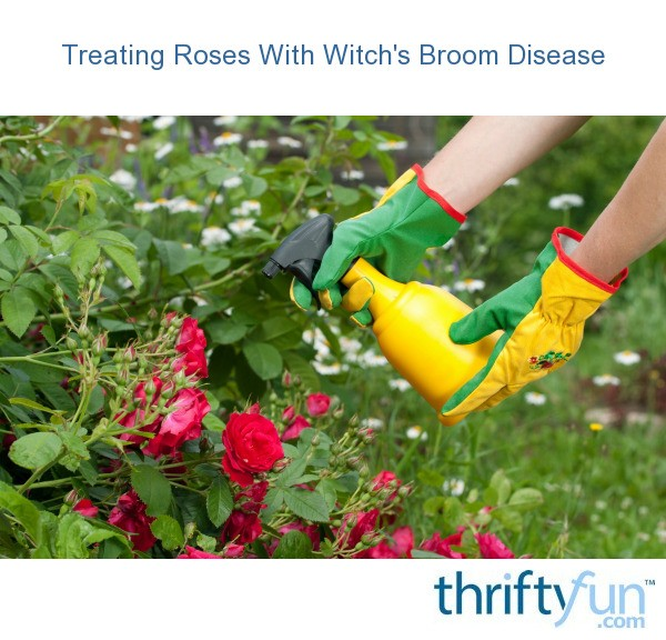 Treating Roses With Witch S Broom Disease Thriftyfun