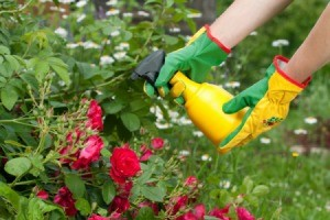 Spraying a rose bush.