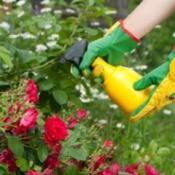 Spraying a rose bush.