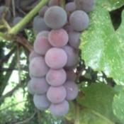Large round purple grapes.