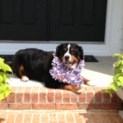 Bernese Mountain dog on porch.