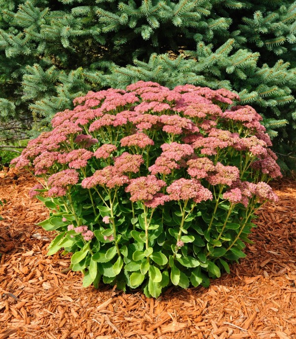 Deciding Whether To Cut Or Not To Cut Back Your Perennials In The Fall Can  Be Perplexing. There Are Pros And Cons To Either Option.