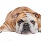 Overweight English bull dog.