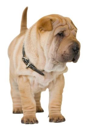 Shar-Pei wearing a collar.