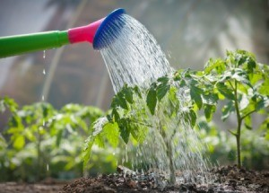 Watering plants in a vegetable garden.