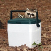 Two raccoons find a cooler at a campsite.