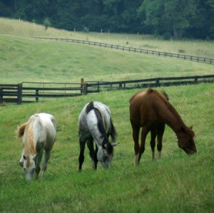 Three thoroughbreds grazing in a field.