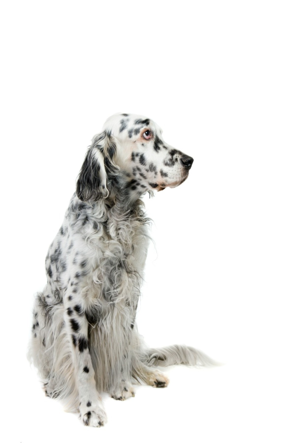 English Setter Breed Information And Photos Thriftyfun