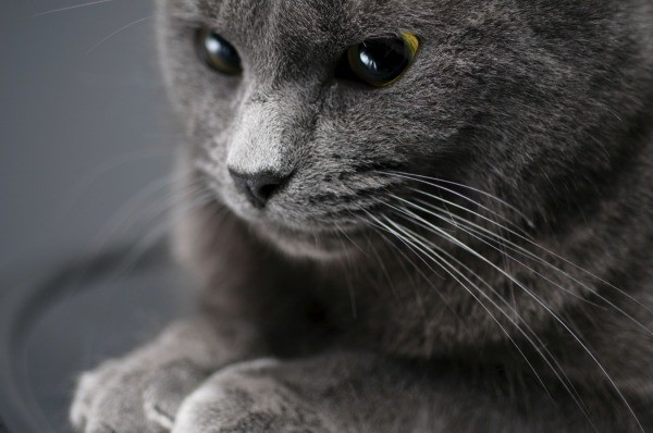 american shorthair breed information and photos thriftyfun