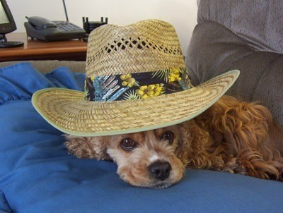 Cocker wearing straw hat.