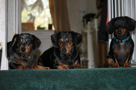 The Three Amigos (Dachshunds)