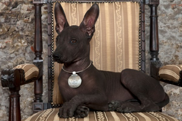 Mexico's Dog: The Xoloitzcuintli - dark skinned Xolo