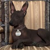 Mexico's Dog: The Xoloitzcuintli - dark skinned Xolo