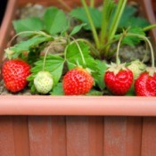 Growing strawberries in a planter.
