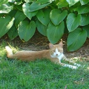 Tiger laying in the grass next to a hosta plant.