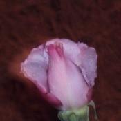 Pink rose with dark edges.