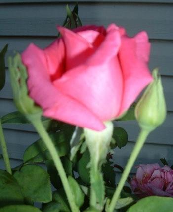 Pink rose bud.