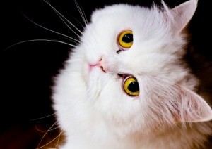 White cat looking up at the camera.