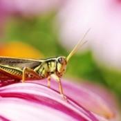 A grasshopper on a pink flower.