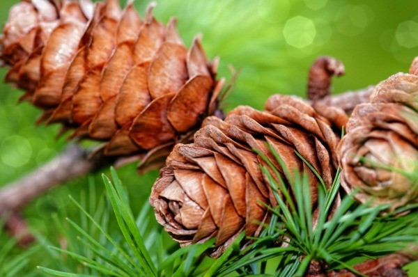 Getting Seeds From Pine Cones | ThriftyFun