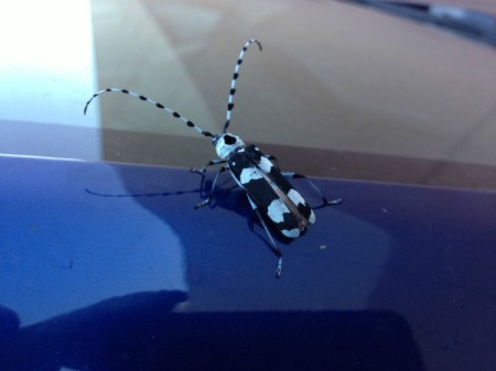 black and white bug