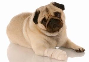 Pug with bandage leg.
