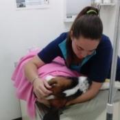 Saint Bernard puppy on vet exam table.