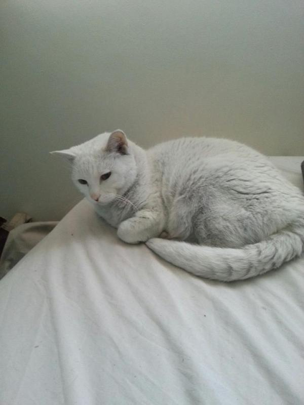 Very light grey cat on bed.