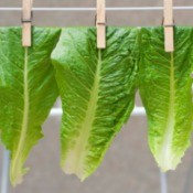 Drying Lettuce Leaves