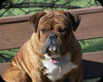 Olde English Bulldogge Breed Information And Photos