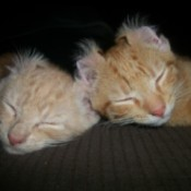 Two orange tabby colored cats sleeping together, with ear tips flipped back.