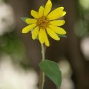 Small sunflower.