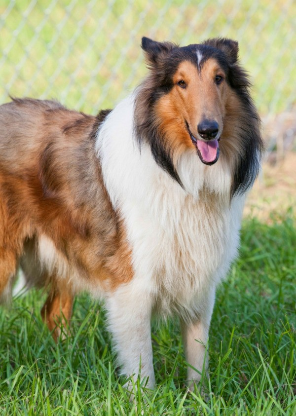 Dog Breed Collie Rough