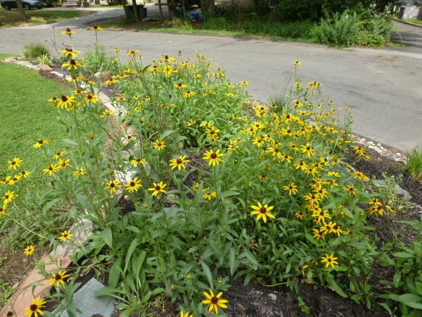 Mass planting of rudbeckia.