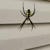 A banana spider hanging in front of a house.