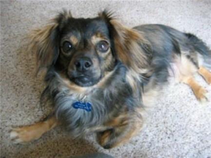 Dog of the Day: Paddington the Pomeranian/Dachshund Mix ... |Long Chihuahua Dachshund Pomeranian Mix
