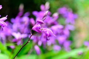 Chinese Ground Orchid
