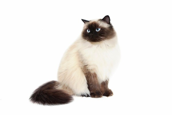 Himalayan Breed Information and
