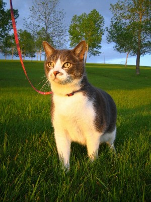 Cat attached to a leash.