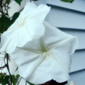 A moonflower bloom next to white siding.