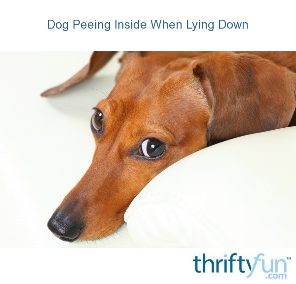 Dog Peeing Inside When Lying Down Thriftyfun