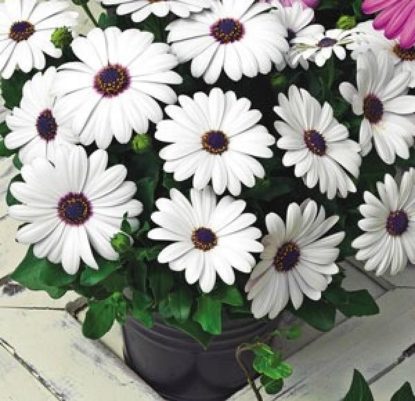 Asti White Flowers
