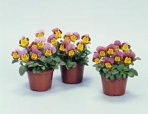 Viola Skippy Flowers