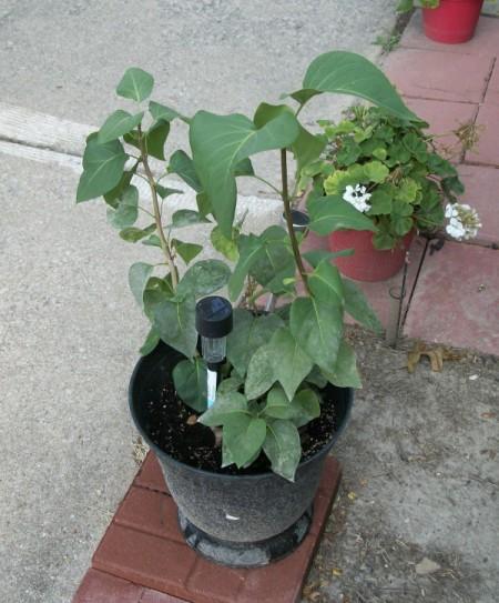 Lilac bush in a pot.