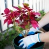 Growing Poinsettia