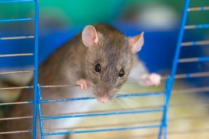 A pet rat in a cage.