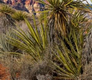 Yucca Plants