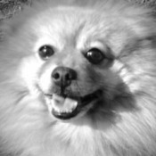 Closeup of a Pom's face.
